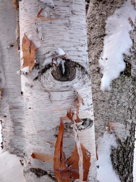 Paper bark birch
