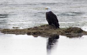 Bald_eagle_sandbar