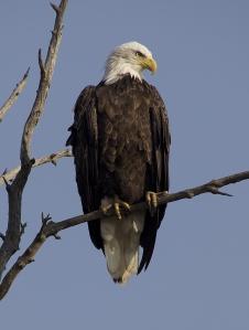 Bald_Eagle_tree