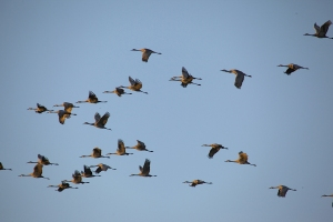 SHC_flock