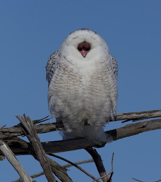 Snowy_owl_yawn