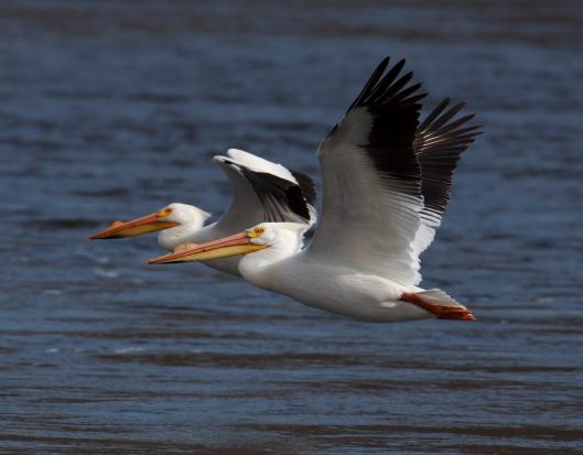pelican_flat