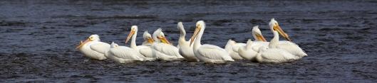 13_Pelicans