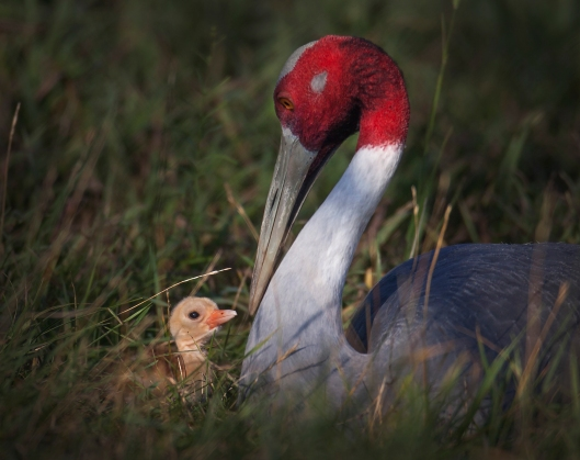 Sarus Crane and one-day-old chick