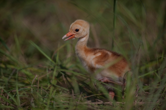 Five-day-old Sarus Crane chick at the International Crane Foundation