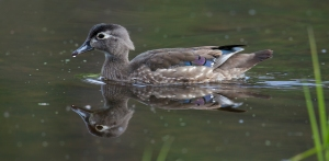 Wood_duck_female2
