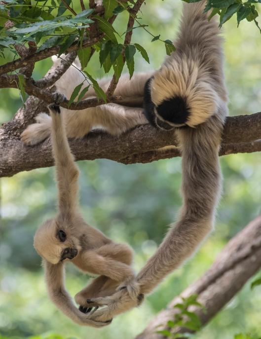 gibbon_dad_baby_handexam
