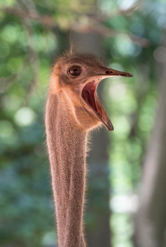 ostrich_yawn