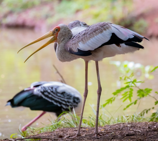 Painted_Stork_Korat_crop