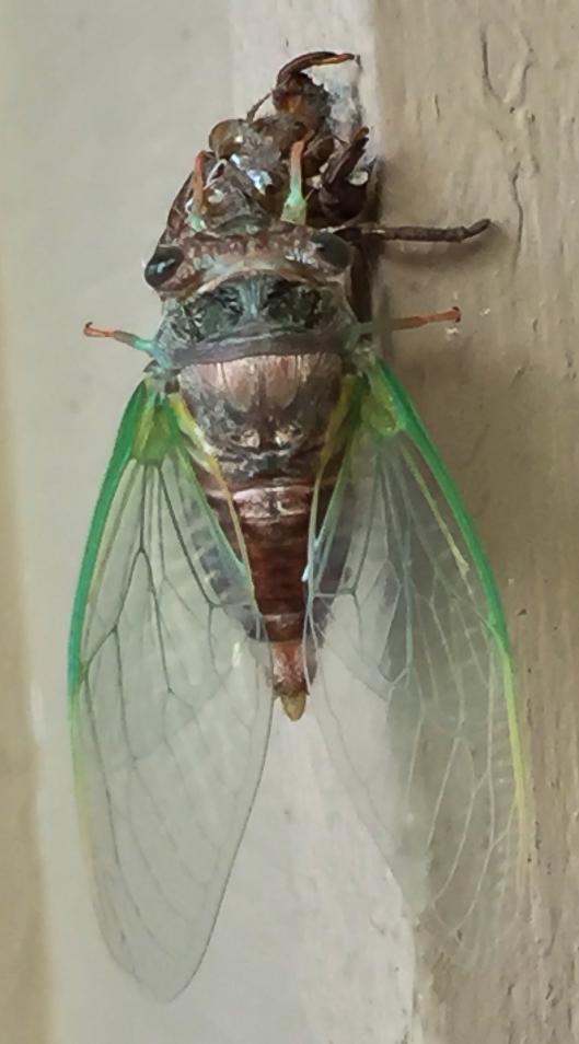 Annual_cicada