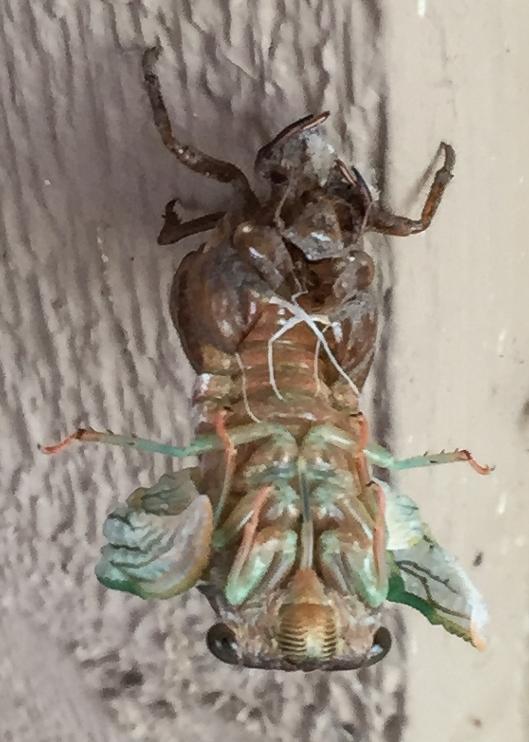 Annual_cicada_emerge