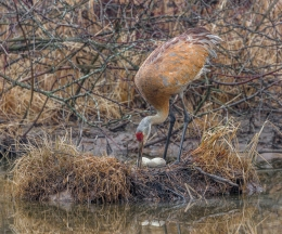 The male Sandhill Crane takes a turn caring for the eggs
